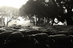 andiamo a comandare (robbi falz) Tags: mattino morning pecora sheep country campagna pentax k30 sardegna italy