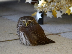 Weihnachts-Käuzchen / Christmas owlet