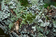 muschi, licheni e briofite - macro (antosti) Tags: belluno sanvito cadore muschi licheni briofite macro nikon d70s bosco