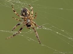 Here I am (Oliver Deisenroth) Tags: macro spider spiderweb spinne makro spinnennetz
