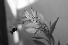 Al trabajo... (CVidelaR) Tags: blackandwhite flower flor bn bee astromelia