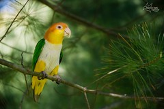 Piper (*~ Nature's Gifts Captured  ~*) Tags: bird nature photoshop photography spring nikon memorial pennsylvania weekend painted tropical specanimal d4s naturesgiftscaptured tamihrycak
