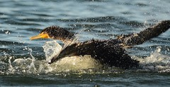 The Big Splash (Jeannine St. Amour) Tags: nature water wildlife cormorant splashing doublecrestedcormorant