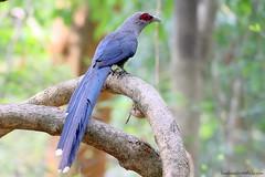 Green-billed Malkoha /  (bambusabird) Tags: blue green bird nature forest canon thailand rainforest natural wildlife tropical chiangmai oriental 600mm malkoha bambusabird