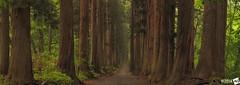 I n t o T h e T r e e s (AnthonyGinmanPhotography) Tags: panorama forest nagano pathway naganoprefecture novoflex togakushi togakushishrine