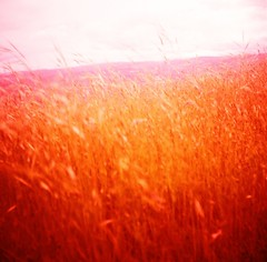 Meadow Whispers I (liquidnight) Tags: red film nature grass analog mediumformat river landscape outdoors washington blurry lomo xpro lomography crossprocessed whisper fuji wind hiking toycamera meadow surreal velvia dreamy analogue pnw rvp100f dreamscape red pouva gorge coyote pacific wall shift columbia northwest labyrinth start pouva