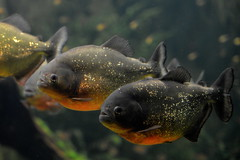 Piranha 3D (pringle-guy) Tags: fish london animals nikon sealife piranha londonaquarium
