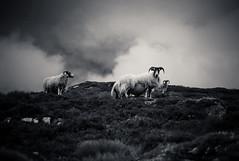 Sheep (c_c_clason) Tags: leica blackandwhite scotland highlands summicron m8 40mm schwarzweiss scottishhighlands summicronc leitz leicam8