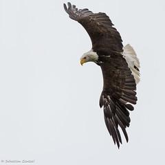 Wings in the Sky (sXare) Tags: austria sterreich baldeagle haliaeetusleucocephalus 2014 weiskopfseeadler burghohenwerfen