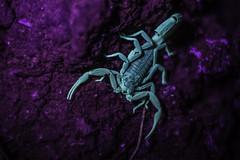 Scorpion fluoresces under UV light (Nic Loven) Tags: mediterranean glow arachnid uv cyprus scorpion blacklight ultraviolet fluorescenece