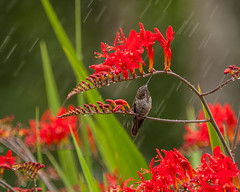 Hmmm, Rain wasn't in the forcast (elsquid) Tags: flower rain shower hummingbird sprinkler crocosmia
