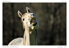 Portraits (BerColly) Tags: portrait horse france smile cheval google flickr sourire auvergne puydedome bercolly egliseneuveprsbillom