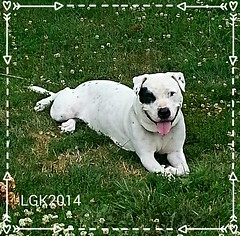 DOTZ hanging out in the yard (Peachhead (4,000,000 views!)) Tags: family summer dog chien pet white mix hond pitbull perro terrier hund hybrid affectionate mixedbreed gentle 2014 apbt dotz pitlab