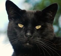 Black Cat (Explored) (murtphillips) Tags: