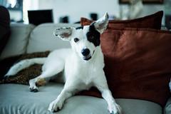 CachorroSofa (rafael.bivar) Tags: dog canon 50mm cachorro