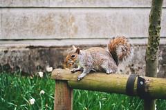 #WildlifeWednesday (lorenzoviolone) Tags: uk greatbritain trip travel london nature reflex nikon squirrel raw fav50 unitedkingdom grain stjamespark gb dslr kodakportra800 fav10 fav25 fav100 vsco londondays afsdxvrzoomnikkor1855mmf3556g wildlifewednesday d3100 nikond3100 vscofilm project:jul21to28=week flickr:blog=true