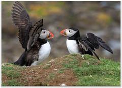 Puffins on Lunga (eric robb niven) Tags: nature scotland dundee wildlife isleofmull puffins isles natures wildbird treshnish ericrobbniven pentaxk50