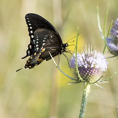 Drinking from the waining fountain of youth (Carolyn Lehrke) Tags: summer usa nature youth butterfly weeds butterflies wv teasel wildflower swallowtail greenbriercounty ronceverte