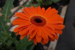 Floricultores paininos visitan empresas en Quillota (En el corazn de Chile) Tags: flores bulbos floricultores prodesal