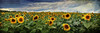 Piggy Back (sminky_pinky100 (In and Out)) Tags: travel flowers summer panorama canada tourism floral yellow landscape pretty novascotia scenic sunflowers colourful sunflowerfield omot cans2s finestnature sunflowermaze exhibitionoftalent masterclassexhibition masterclasselite dadgivingdaughterapiggybackride