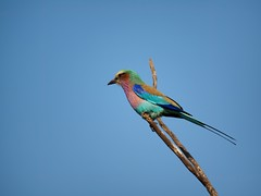A Lilac Breasted Roller (Lash in Virginia) Tags: birds southafrica lilacbreastedroller