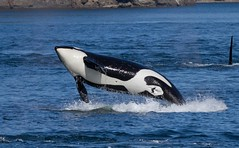 Breach 4 (shashin62) Tags: ocean fish canada water vancouver dolphin whale whales orca breaching orcas whalewatching breach