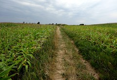 Path to Kragenæs passage grave (Jaedde & Sis) Tags: field corn path vanishing gamewinner a3b challengegamewinner friendlychallenges kragenæs pregamewinner