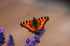 up up and away!! (theycallmesabse) Tags: canon butterfly colorful lavender schmetterling lavendel eos600d