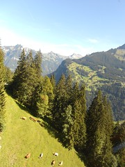 Living on the edge (Thomson Lakes) Tags: trees mountains cows cablecar lauterbrunnen grazing grutschalp