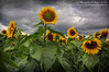 Sunny with a chance of Showers (sminky_pinky100 (In and Out)) Tags: travel flowers summer canada green tourism floral yellow novascotia august textures sunflowers 3f darkskies omot cans2s sunflowermaze exhibitionoftalent masterclassexhibition masterclasselite