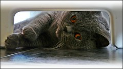i see you (tor-falke) Tags: blue pet animal animals cat tiere chat british katze eddy animaux bluecat haustier britishshorthair tier bkh hauskatze britischkurzhaar torfalke flickrtorfalke
