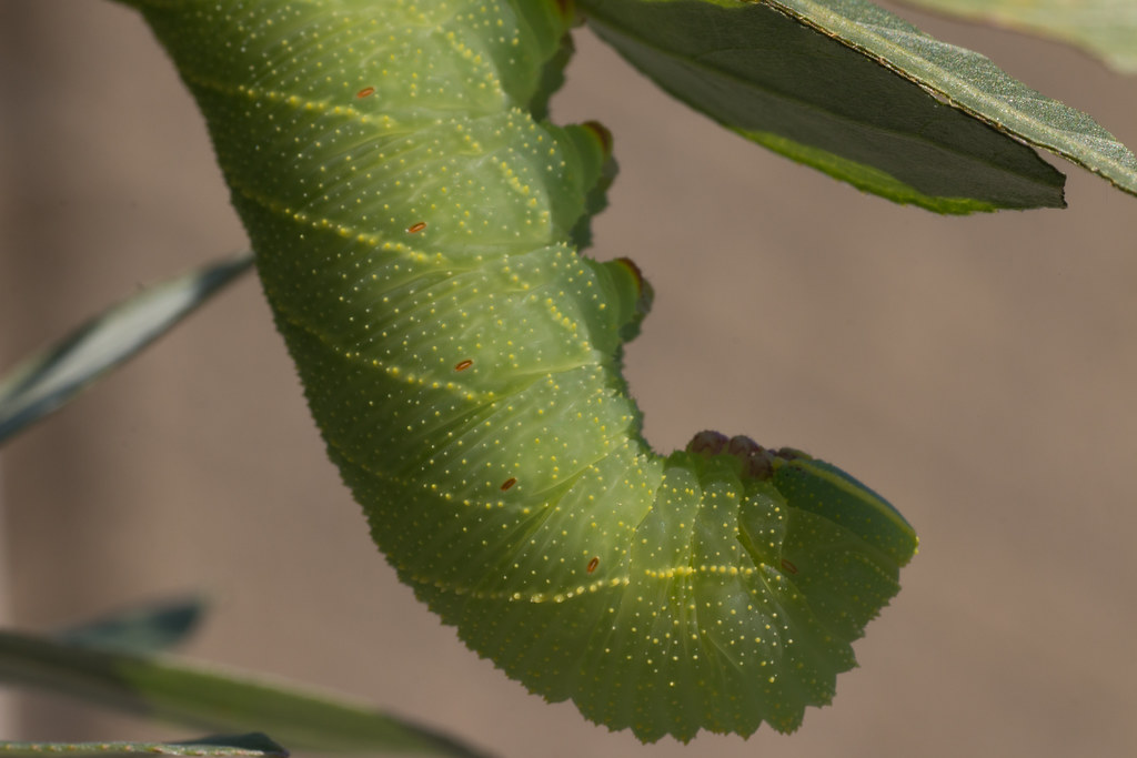 Poplar Hawk-moth caterpillar on a willow - Utrecht, The Netherlands