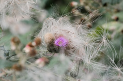 Tangle (SimonLea2012) Tags: flower colour thistle seeds