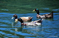 DSC_0332 (rachidH) Tags: sea lake birds geese mediterranean hellas ducks goose greece waterfowl kefalonia canard oiseaux muscovy oie karavomylos rachidh melissany