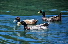 DSC_0332 (rachidH) Tags: sea lake birds geese mediterranean hellas ducks goose greece waterfowl kefalonia canard oiseaux muscovy oie karavomylos rachidh melissany