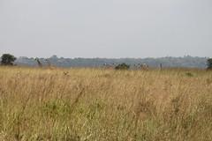 IMG_4258 (Jarod Burns) Tags: africa nationalpark kenya wildlife nairobi safari giraffe nairobinationalpark