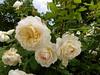 white roses (jessicabragen) Tags: ocean bridge roses summer beach inn downtown nj shore sunflower jersey shops boardwalk jerseyshore oceangrove oceangrovenj jerseystrong