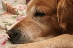 Chewie 7 (Scott Alan McClurg) Tags: dog cute love loving goldenretriever puppy happy friend buddy playful