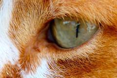 True Cat's Eye (pbmultimedia5) Tags: summer pet white macro green eye texture true animal closeup cat canon garden hair eos switzerland ginger feline europe pretty swiss pb m2 180mm ef180mm eosm2 pbmultimedia