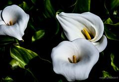 Calas (Marisa y Angel) Tags: 2014 calas flres flowers white blanco nature naturaleza flora calla semanasanta