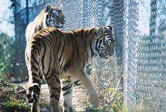 Kaela & Rajah Tiger