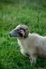 201408-Scharfe-7231 (jerdlingshof) Tags: green sheeps wz scharfe erdlingshof