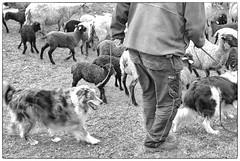 Sheep and Dog and Human (Xerethra) Tags: people bw dog 35mm geotagged spring nikon europa europe sheep sweden candid may sverige maj vår svartvit järfälla 2013 görväln stockholmslän nikond80 dikartorp snutenvägen snutenvägenjärfällastockholmslänsverige