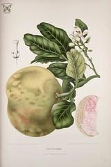 Anglų lietuvių žodynas. Žodis citrus decumana reiškia citrusinių decumana lietuviškai.