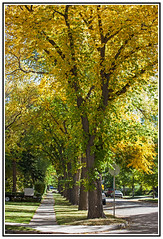 An Avenue of Elm Trees changing their Colours to the Golden Beauty of Autumn. (Bill E2011) Tags: autumn trees colour fall nature beauty avenue elm splendour ulmus