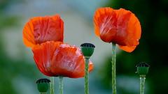 Poppies in flower (Hakuninmaa, Helsinki, 20150616) (RainoL) Tags: flowers red summer plants plant flower june finland geotagged helsinki clr poppy helsingfors fin papaver papaveraceae uusimaa 2015 nyland kaarela hakuninmaa kårböle 201506 geo:lat=6025169752 geo:lon=2487283070 håkansåker 20150616