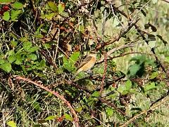 Siberian Stonechat (putative Stejnegers) Landguard Suffolk (Chris Baines) Tags: siberian stonechat landgurad suffolk eastern race putative stejnegers