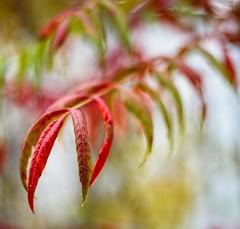 Change of Season (Wes Iversen) Tags: bokehwednesdays brighton hbw kensingtonmetropark michigan milford nikkor50mmf18 autumn autumncolor bokeh leaves nature square sumac