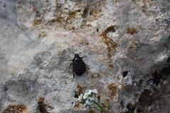 Tras la lluvia, reaparecen los bichitos! (esta_ahi) Tags: olrdola peneds barcelona spain espaa  coleoptera insectos fauna