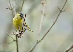 Tarin ? (www.speleophoto.fr) Tags: nature oiseaux cureuil chardonneret fauconplerin sittelle tarin